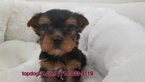 Yorkshire Terrier Puppy For Sale in LA MIRADA, California,