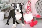 Loretta Female Boston Terrier