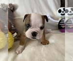Small #6 English Bulldog