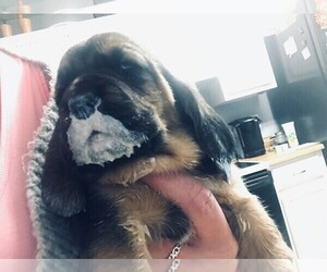 Basset Hound Puppy for sale in GOODSPRING, TN, USA
