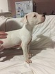 Dogo Argentino I Will Ship anywhere in the USA