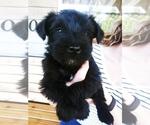 Puppy 5 Schnauzer (Miniature)-Schnauzer (Standard) Mix