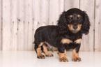 Dachshund Puppy For Sale in MOUNT VERNON, OH,
