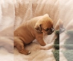 Old English Bulldogges VT puppies registered