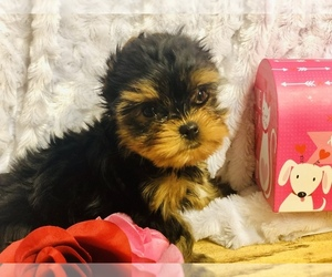Yorkshire Terrier Puppy for sale in SARATOGA SPRINGS, UT, USA