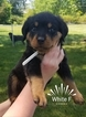 Rottweiler Puppy For Sale in EASLEY, South Carolina,