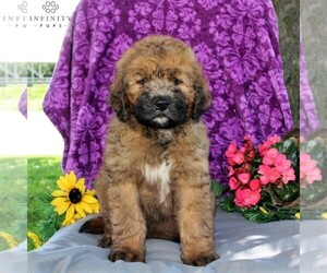 Saint Berdoodle Dog for Adoption in KIRKWOOD, Pennsylvania USA