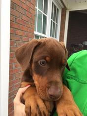 Doberman Pinscher Puppy For Sale in ELIZABETHTOWN, NC