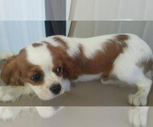 Cavalier King Charles Spaniel Puppy for sale in S BEND, IN, USA
