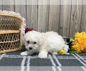 Bichpoo Puppy for sale in ORO VALLEY, AZ, USA