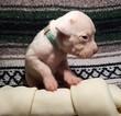 Puppy 9 Dogo Argentino