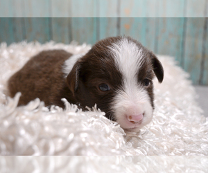 Miniature Australian Shepherd Puppy for Sale in TERRE HAUTE, Indiana USA