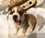 Puppy 8 Beagle-Siberian Husky Mix