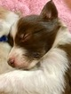 Border Collie Puppy For Sale in RICHMOND, VA, USA