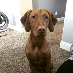 Vizsla Puppy For Sale in EAGLE, ID