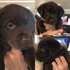 Labrador Retriever Puppy For Sale in CRAWFORDSVILLE, IN, USA