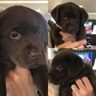 Labrador Retriever Puppy For Sale in CRAWFORDSVILLE, Indiana,