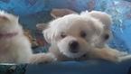 Maltese Puppy For Sale in BOURBON, IN