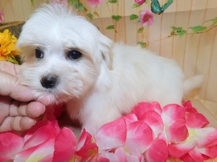 View Ad: Mal-Shi Puppy for Sale near Indiana, HAMMOND, USA