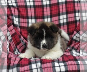 Akita Puppy for sale in STEVENS, PA, USA