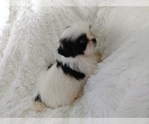 Shih Tzu Puppy for Sale in DOUGLAS, Georgia USA