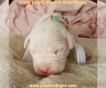 Small Photo #29 Dogo Argentino Puppy For Sale in PINEVILLE, MO, USA