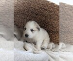Small #81 Great Pyrenees