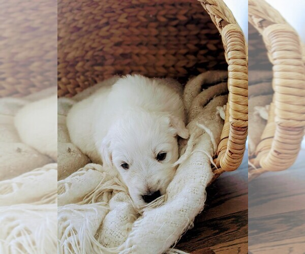 Medium Photo #4 Great Pyrenees Puppy For Sale in FALCON, CO, USA