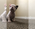 Small Photo #10 French Bulldog Puppy For Sale in SAN DIEGO, CA, USA
