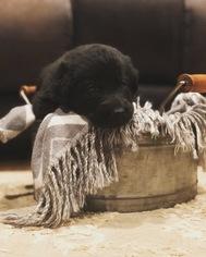 German Shepherd Dog Puppy For Sale in TYRONE, PA, USA