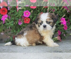 Shih Tzu Puppy for sale in FREDERICKSBG, OH, USA
