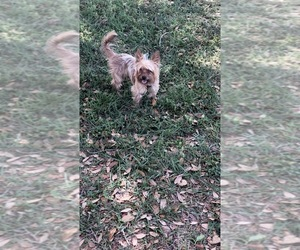 Yorkshire Terrier Puppy for sale in GIBSONTON, FL, USA