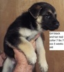 German Shepherd Dog Puppy For Sale in FARMINGTON, IL, USA