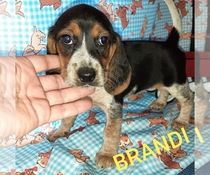 Beagle Puppy for sale in CARTHAGE, TX, USA