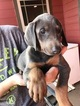 Doberman Pinscher Puppy For Sale in REKLAW, TX,