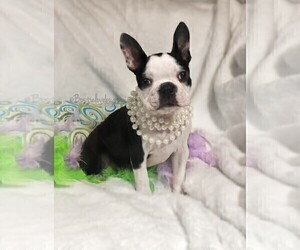 Boston Terrier Puppy for sale in TRUSSVILLE, AL, USA