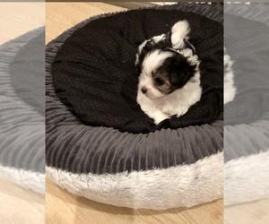 Maltese-Maltipoo Mix Puppy for sale in GRAFTON, VA, USA