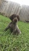 German Wirehaired Pointer Puppy For Sale in INDEPENDENCE, KS, USA