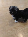 Havanese Puppy For Sale in VERO BEACH, FL, USA