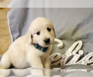 Golden Retriever Puppy for sale in WENDELL, NC, USA