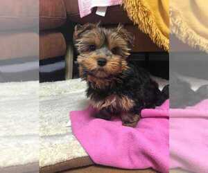 Yorkshire Terrier Puppy for sale in CLINTON, CA, USA