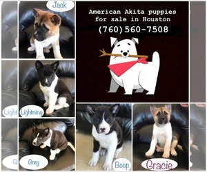 Akita Puppy for Sale in CYPRESS, Texas USA