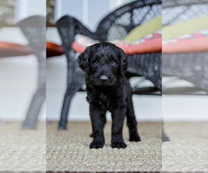 Goldendoodle Dog for Adoption in SABETHA, Kansas USA