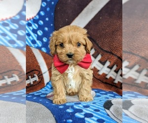 Cocker Spaniel-Poodle (Miniature) Mix Puppy for sale in PEACH BOTTOM, PA, USA