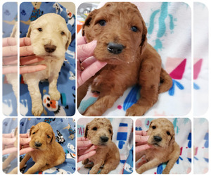 Goldendoodle-Poodle (Standard) Mix Puppy for sale in KENDALL, WI, USA