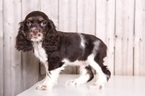 Cocker Spaniel Puppy For Sale in MOUNT VERNON, OH,