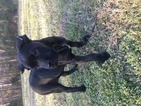 Cane Corso Puppy For Sale in PETERSBURG, VA