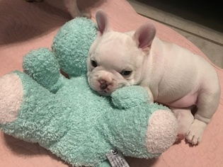 French Bulldog Puppy For Sale in LAKELAND, FL