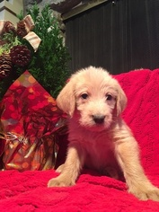 Labradoodle Puppy For Sale in BIXBY, OK, USA