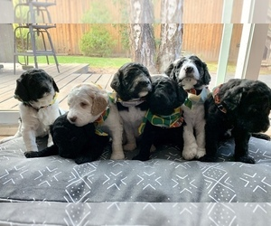 Double Doodle Puppy for Sale in GRESHAM, Oregon USA